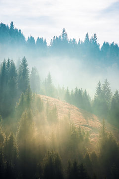 spruce trees on the slope in fog. beautiful nature scenery in mountains. amazing morning weather.