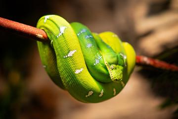 Green Python Snake