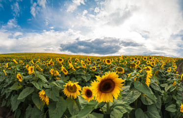 Fototapete - Beautiful view on sunflower field with sky