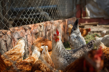 domestic poultry, chickens behind the fence