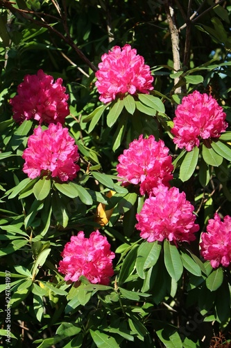 Pink Flowers Of A Big Rhododendron Bush In Spring Stock Photo And