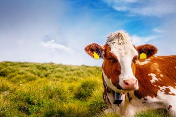 Cows graze on alpine hills. Location place Grindelwald, Switzerland.