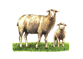 sketch sheep with lamb in green grass