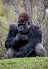 Western Lowland Gorilla sitting on a hill