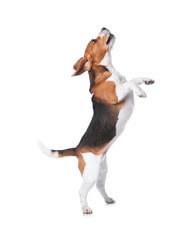 Beautiful beagle dog on white background. Adorable pet