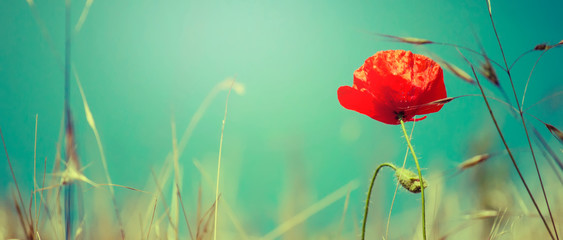 Fotobehang Poppy Sunny spring or summer landscape with blooming scarlet poppy against the blue sky, selective focus