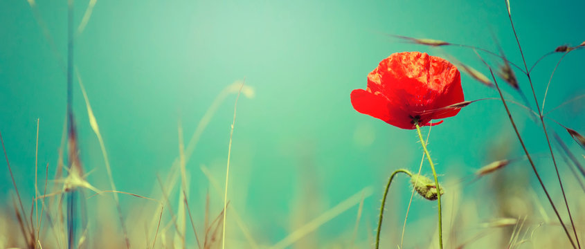Sunny spring or summer landscape with blooming scarlet poppy against the blue sky, selective focus
