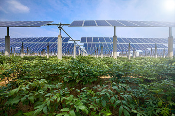 Vegetables grown under solar photovoltaic panels