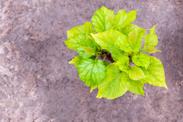 The young leaves of the mulberry tree