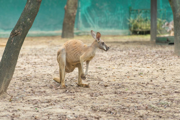 kangaroo is standing in the middle of a paddock