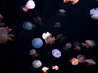 Close-up Jellyfish, Medusa in fish tank with neon light. Jellyfish is free-swimming marine coelenterate with a jellylike bell- or saucer-shaped body that is typically transparent.