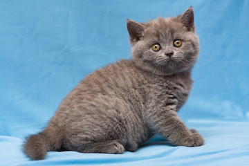 Funny blue British kitten sitting on a blue background and staring at the camera
