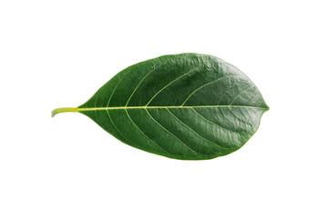 Jackfruit leaf isolated on white background.