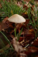mycena mushroom in the schollenbos public forest in capelle aan den ijssel in the Netherlands.