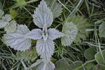 Frozen thistle and leaves with ice crystals on the ground in the morning