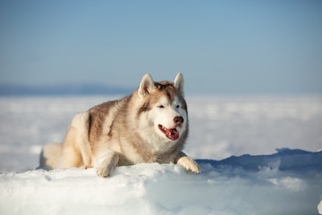 Beautiful and happy Siberian husky dog lying on ice floe and snow on the frozen sea background.