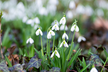 beautiful snowdrop background