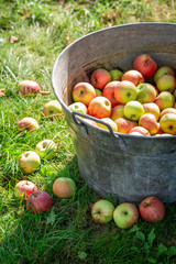 Harvested and washed apples in sunny day