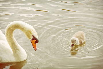 White mother swan swim with her young