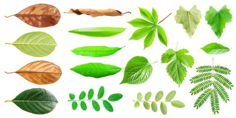 Group of leaf isolated on white background. Morus,Mulberry, Dimocarpus longan, Piper sarmentosum, Wildbetal leafbush, Streblus asper, Manihot esculenta, Cassava Root, Tapioca leaf