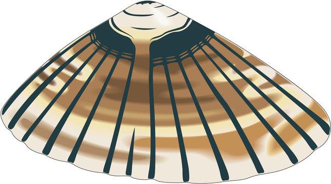 Limpet Shell Vector Illustration
