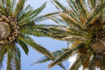 Huge palms tree with blue sky