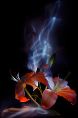 Flowers and buds, pistils and stamens of white lilies, painted by light on a colorful background, improvisation with blue and white light on a black background