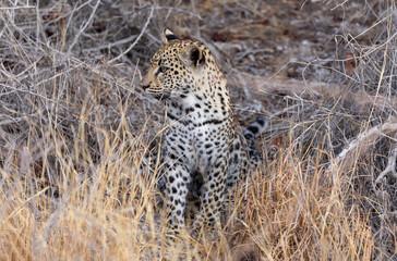 Leopard Cub in the grasses