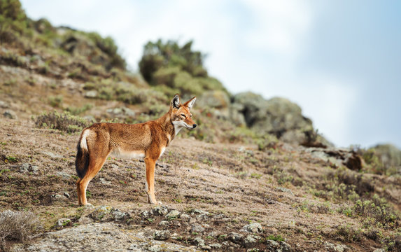 Close up of a rare and endangered Ethiopian wolf