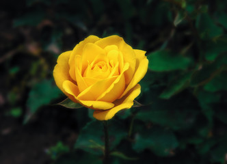 Wall Mural - Yellow roses in the garden