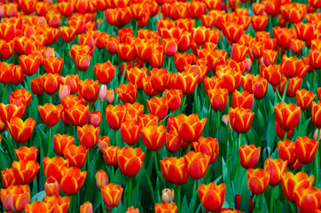 Wall Mural - The red yellow tulip fields are densely blooming