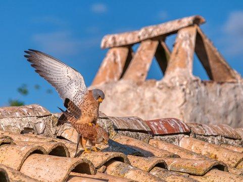 Male and female of Lesser kestrel. Falco naumanni.