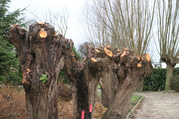 Willow have been cutted for new growth at a road in the Netherlands