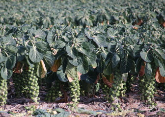 Brussels sprouts growing on plant at farm field in Zwijndrecht, the Netherlands
