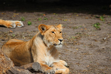 Female lion is lying in the grass in the sun at Blijdorp Zoo in Rotterdam the Netherlands