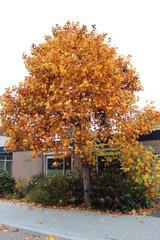Yellow and orange colored leaves at a tree on the street in Nieuwerkerk aan den IJssel in the Netherlands