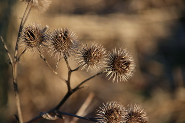 Sticky balls of thistle plant in the evening sun in park hitland in Nieuwerkerk aan den IJssel in the Netherlands