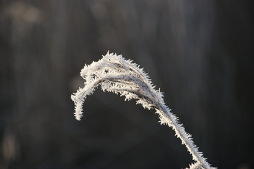 Frozen white reed leaves with ice needles in the sunrise at Park Hitland in Nieuwerkerk aan den IJssel in the Netherlands