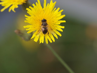 Bee on a yellow dandelion flower in park hitland in nieuwerkerk aan den IJssel in the Netherlands