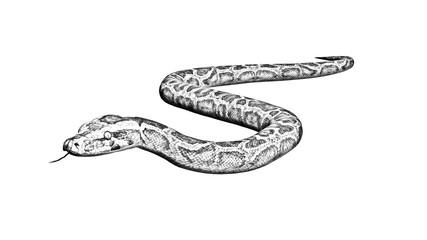 Python snake - Pencil drawing - isolated on white background