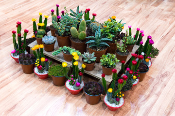 Kakteen, Sukkulenten, blühend, Zimmerpflanzen