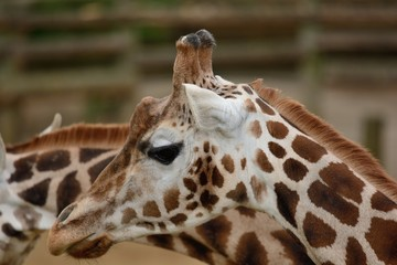 head shot of  a giraffe