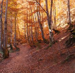 beech forest autumn mountains