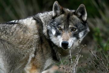 Europäischer Wolf (Canis lupus lupus) - gray wolf