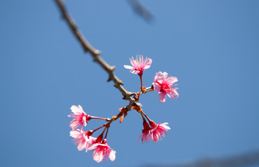 Wild Himalayan pink flora Cherry blossom on branch tree beautiful on blue sky background