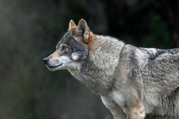 Foto auf Leinwand Wolf Europäischer Wolf (Canis lupus lupus) - gray wolf