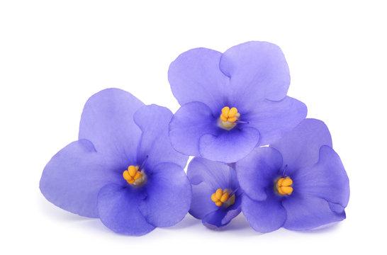 Saintpaulia (African violets)