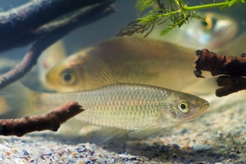 Pseudorasbora parva, stone moroko or topmouth gudgeon, freshwater fish in beautiful biotope aquarium, side view nature photo