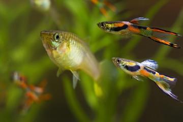 Guppy endler, Poecilia wingei, freshwater aquarium fish, males in spawning coloration and female, courtship, biotope aquarium, closeup nature photo
