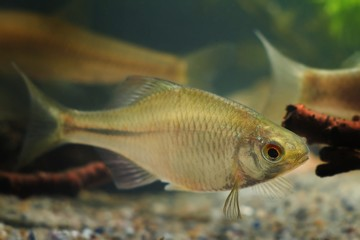 Rhodeus amarus, European bitterling, beautiful ornamental adult male, small freshwater fish in biotope aquarium
